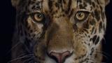 Jaguar breakdown