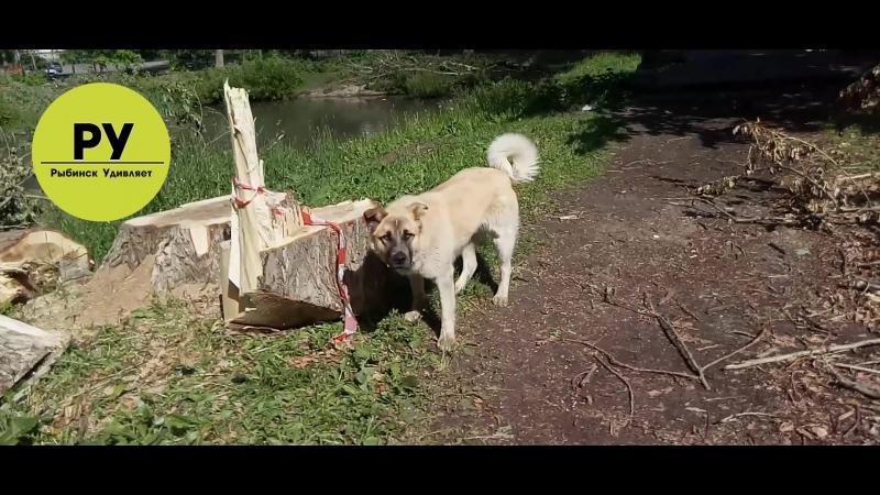 Рыбинск Удивляет (РУ). Брошенная собака разгуливает в Карякинском Парке