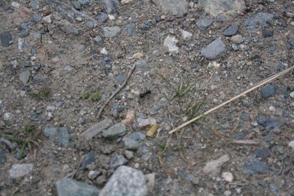 Огромный муравей. Обычно они толщиной соломинку
