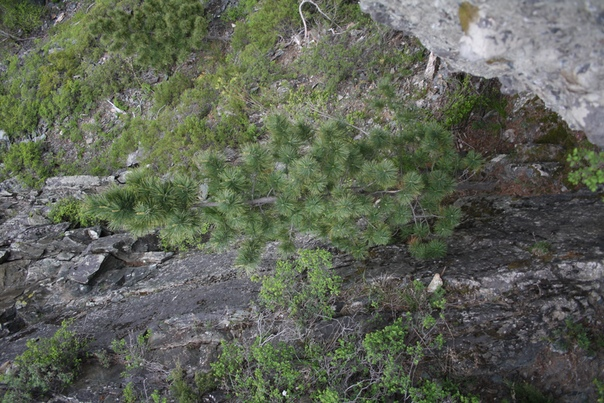 С одной стороны стоит восхититься деревом: какое выносливое, растёт в скале. С другой стороны стоит посочувствовать скале: дерево разрывает и разрушает гору. Природа же.