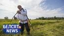 Беларусы змагаюцца з раслінай - помстай Сталіна I Белорусы борются с опасным растением Белсат