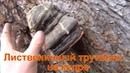 Лиственничный трутовик на кедре кедр гриб грибы кедровая живица кедровая смола купить сбор