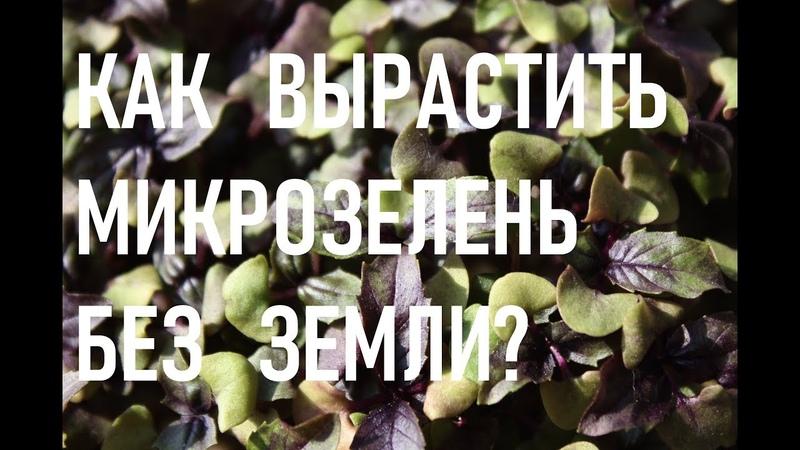 Как вырастить микрозелень без земли. Выращивание микрозелени на воде. Гидропоника.