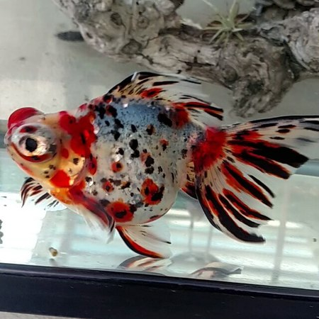 """Goldfish junkie 🇬🇺🇺🇸 on Instagram: """"✴ Pixel ✴ 👊😎 My $10 local fish store find whose colors are starting to come in nicely! . . . goldfishunion go..."""