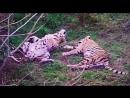 Как отдыхают тигры