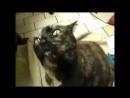 Кошки коты разговаривают смешно.Katzen sprechen are talking funny