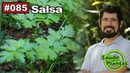 Saúde Pelas Plantas - Salsa [hipertensão arterial, alergias, diabetes, câncer de mama, menopausa]