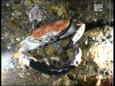 Tasmanian Giant Crab Pseudocarcinus gigas heaviest species of crab in the world