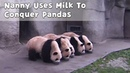 Nanny Uses Milk To Conquer Pandas | iPanda