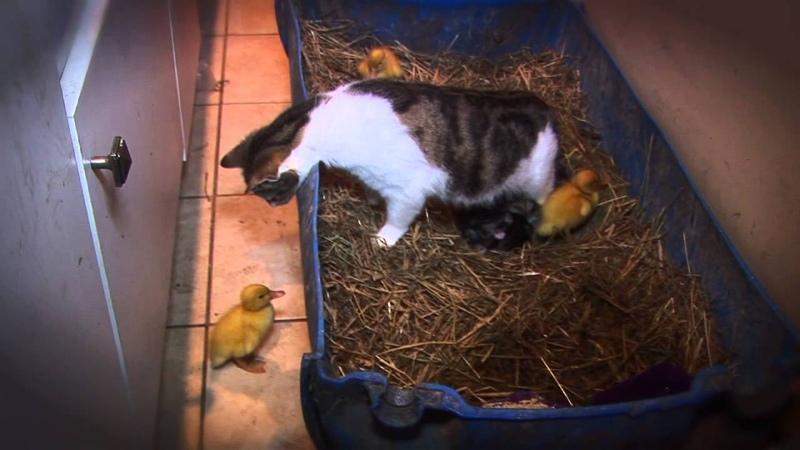 AMAZING Cat Feeding Ducklings DAY 6