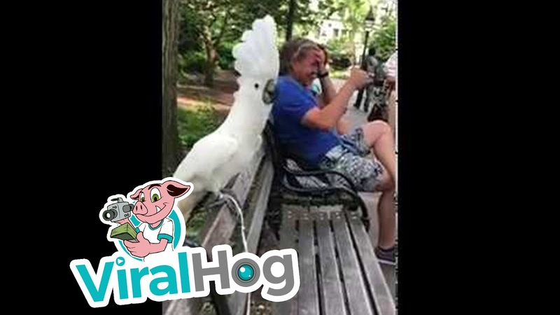 Cockatoo Barks at Passing Dog || ViralHog