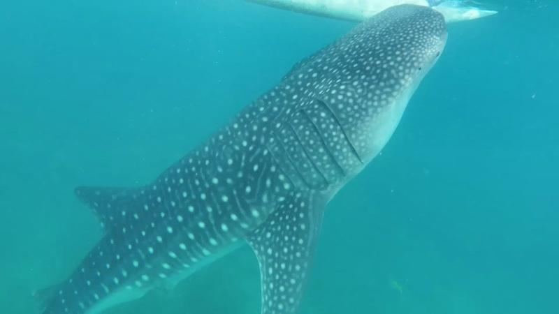 Купание с акулами. Что еще делать в г. Ослоб? Филиппины