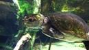 Amazon Big Head turtle (Peltocephalus dumerilianus)