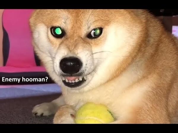 Hooman attac, doggo protec