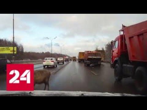 Бесхозная овца парализовала движение на МКАДе - Россия 24