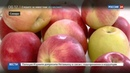 Новости на Россия 24 • Съедобная упаковка: яблочная инновация от самарских ученых