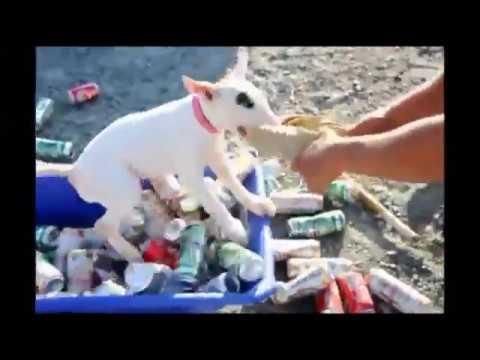 Temperament test Bull Terrier puppy