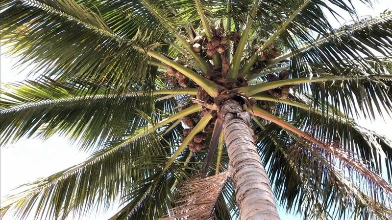 Под кокосом пузом к верху Круиз по Карибам