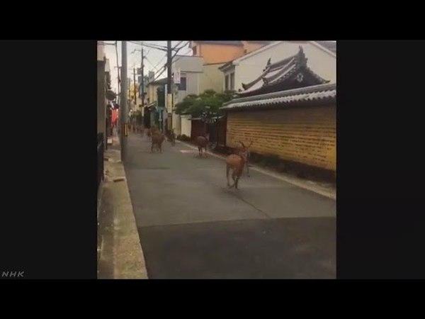 【日本ニュース】奈良 シカの群れが住宅地疾走 SNS動画が話題に