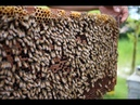 Primitive Technology Food wild bees honey hunting