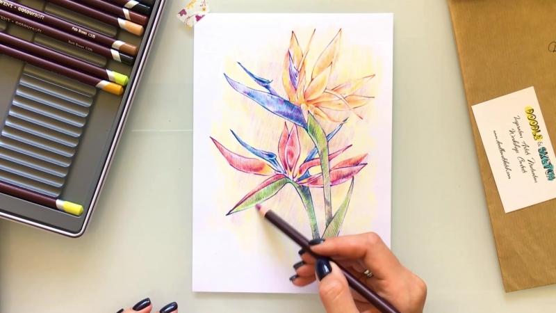 Speed painting из видео урока рисования Стрелиция цветными карандашами от Ксении Крышталевой