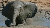 Baby Elephant takes her First Bath BBC Earth