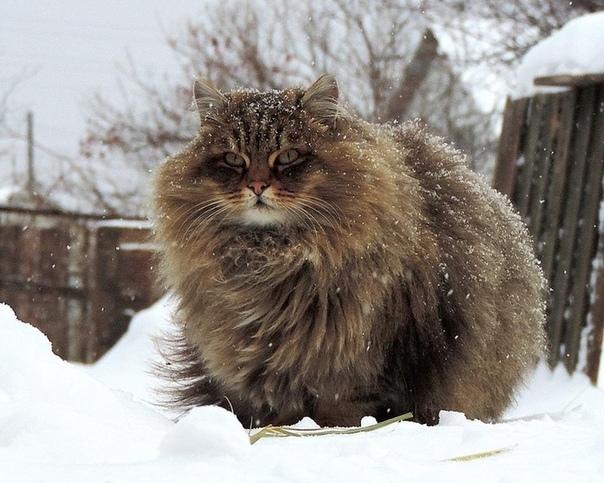 Жизнь Пушистый здоровенный кот-сибиряк вновь пришел в их двор. Виктор Павлович уже несколько недель наблюдал за этим красавцем с балкона своей квартиры. Видно было, что кот дворовый, не