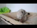 британский котик Нэш