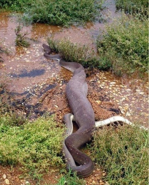 смертельная схватка хищников: питон против крокодила на озере мундарра в австралии люди с ужасом наблюдали, как трехметровый питон сначала удавил, а затем проглотил