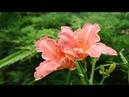 Цветы в саду. Чем запомнился июль!