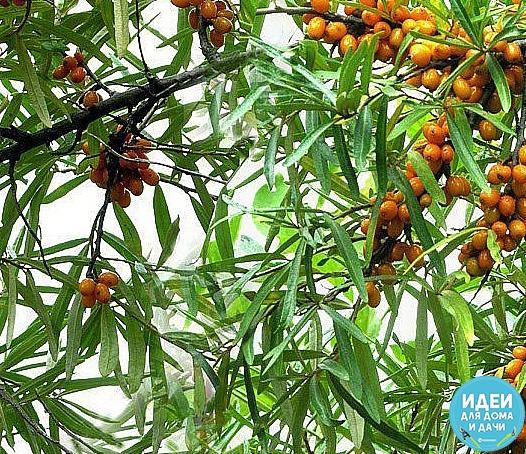 соберите листья облепихи! в сушёном виде их заваривают как чай и пьют при гипертонической болезни и симптоматической гипертонии, расстройствах кишечника, гиповитаминозе, простудных заболеваниях,