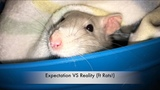 Fancy Rats as Pets Expectations VS Reality