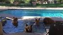 Мама-медведь и детеныши охлаждаются в бассейне || ViralHog