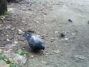 голубь ворона и воробьи