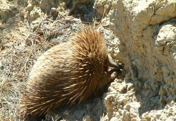 Млекопитающее, птица или рептилия Если смешать их признаки и как следует взболтать, получится символ Австралии. Кажется, такому удивительному существу не выжить в реальных условиях. Но ехидне