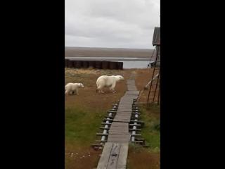 Белые медведи на Вайгаче