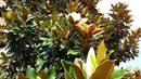 Magnolia grandiflora southern magnolia HD 04