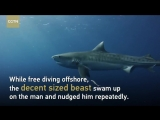 Terrifying close encounter with massive Tiger sharks off Florida coast (Video_ C ( 720 X 1280 ).mp4