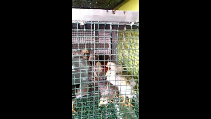 Борковская Барвистая. Цыпляткам 3 недели. Контрольное взвешивание