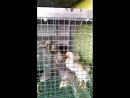 Борковская Барвистая Цыпляткам 3 недели Контрольное взвешивание