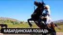 Лошадь кабардинской породы черкесские лошади