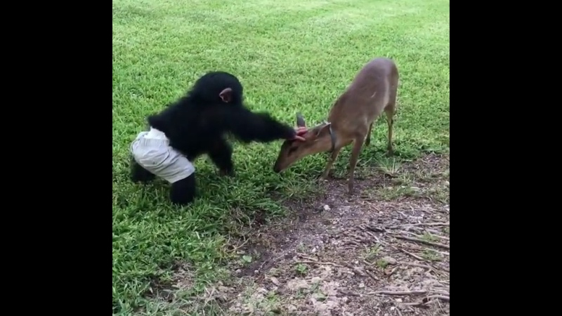 Baby chimpanzee is playing with his fawn friend part 2