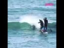 Дельфин сбивает серфера