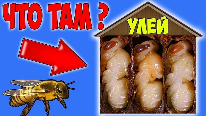 Что Находится Внутри Пчелиного УЛЬЯ? Разоблачение Продавцов Меда