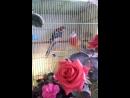 ВашГород Приволжск VK Live 10 08 2018г Попугай пестрая розелла