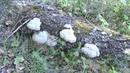 Гриб трутовик настоящий Fomes fomentarius лекарственный гриб
