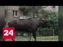 В Химках корова устроила коллапс на дороге, а в Королеве движение остановил лось - Россия 24