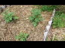 Семья Бровченко. Эксперимент - необычная посадка картошки. №2 Что взошло через 3 недели.