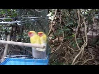 говорящие птицы на Хайнане
