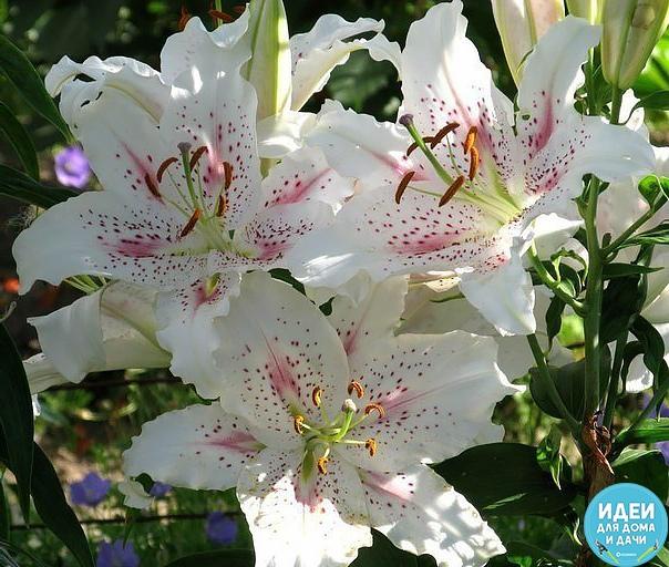 Удобрение для лилий Весной, до появления побегов лилий, в почву вношу азотные удобрения, например, аммиачную се литру (1 столовая ложка на 1 м 2). Или подкармливаю посадки лилий органическими и